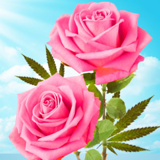 Cannabis Rose Type Fragrance Oil for making candles, soaps, creams, lotions, tonics and other cosmetics