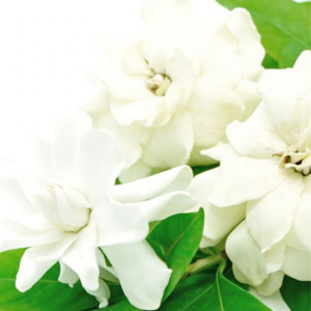 White Gardenia Fragrance Oil for making candles, soaps, creams, lotions, tonics and other cosmetics