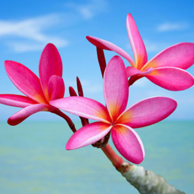 Plumeria Fragrance Oil  for making candles, soaps, creams, lotions, tonics and other cosmetics