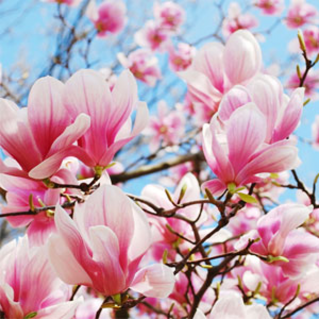 Magnolia in Bloom for making candles, soaps, creams, lotions, tonics and other cosmetics
