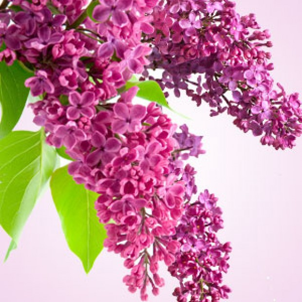 Lilac for making candles, soaps, creams, lotions, tonics and other cosmetics
