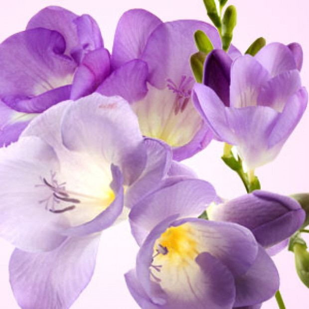 Freesia for making candles, soaps, creams, lotions, tonics and other cosmetics