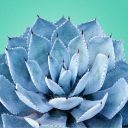 Blue Agave 30 ml