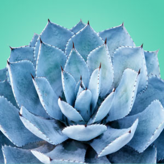 Blue Agave 30 ml for making candles, soaps, creams, lotions, tonics and other cosmetics