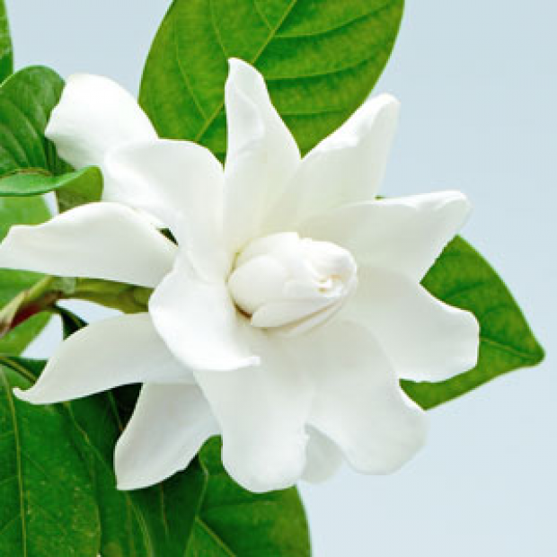 Gardenia 30 ml for making candles, soaps, creams, lotions, tonics and other cosmetics